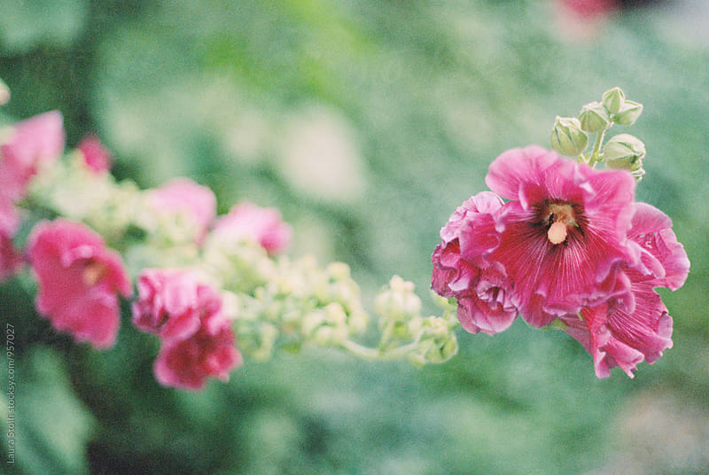 Pink hollyhock flowers in bloom on film by Laura Stolfi for Stocksy United