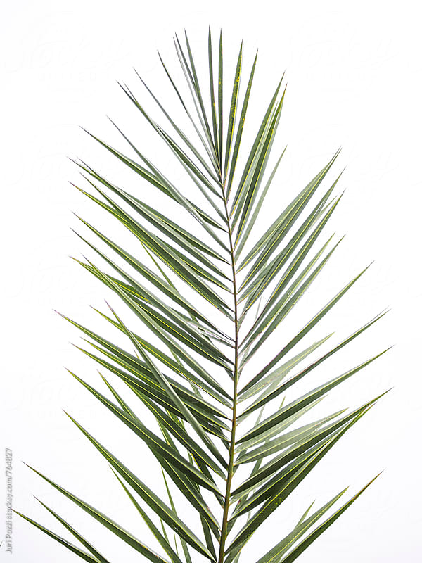 palm leaf on a white background by Juri Pozzi for Stocksy United
