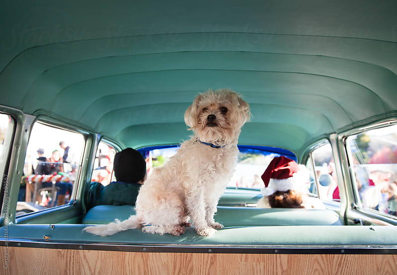 Little dog sits on the back seat of his owner's classic car while they ride in a Christmas parade by Carolyn Lagattuta for Stocksy United