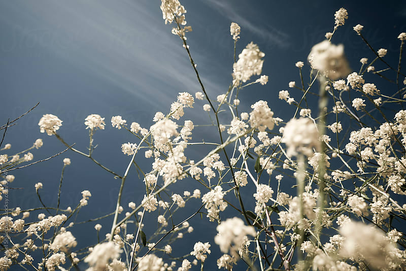 Mustard Flower Field  by Michael Shainblum for Stocksy United
