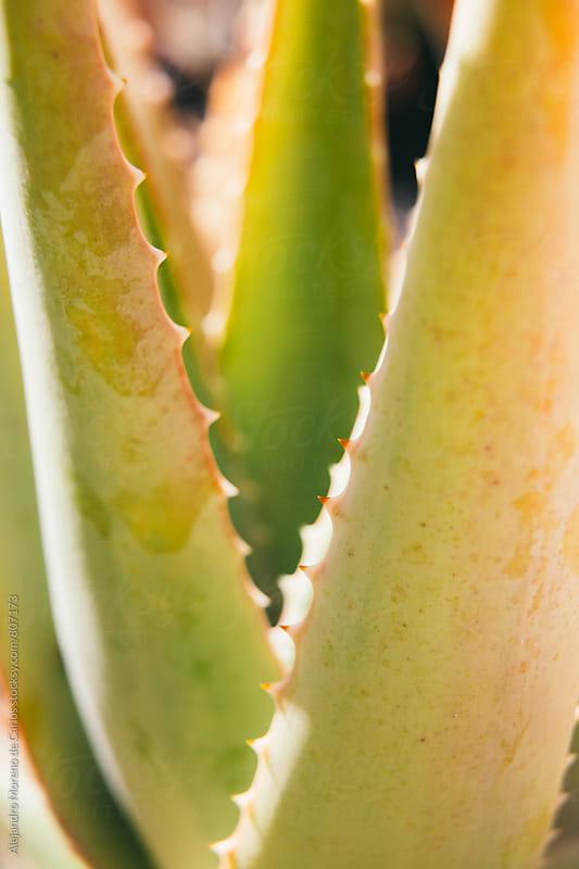 Close up of an exterior aloe vera plant on a sunny day by Alejandro Moreno de Carlos for Stocksy United