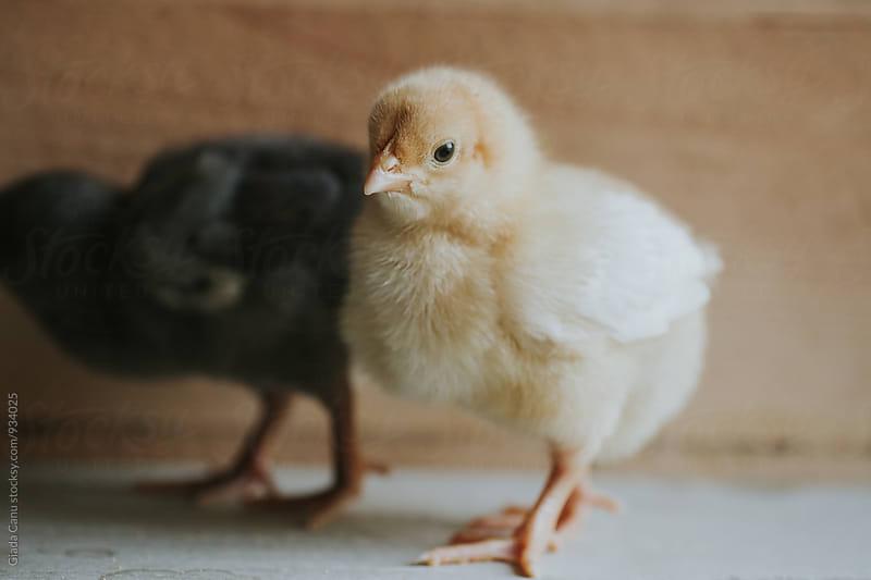 Baby chicks by Giada Canu for Stocksy United
