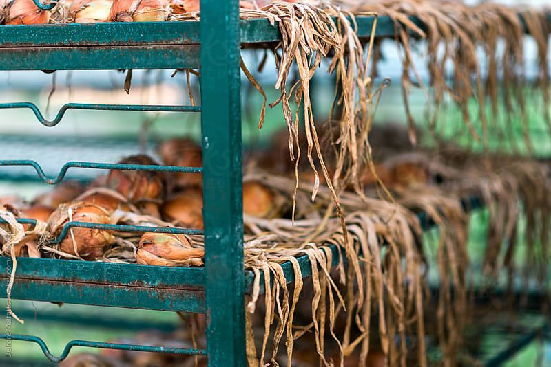 onions curing on metal racks by Deirdre Malfatto for Stocksy United
