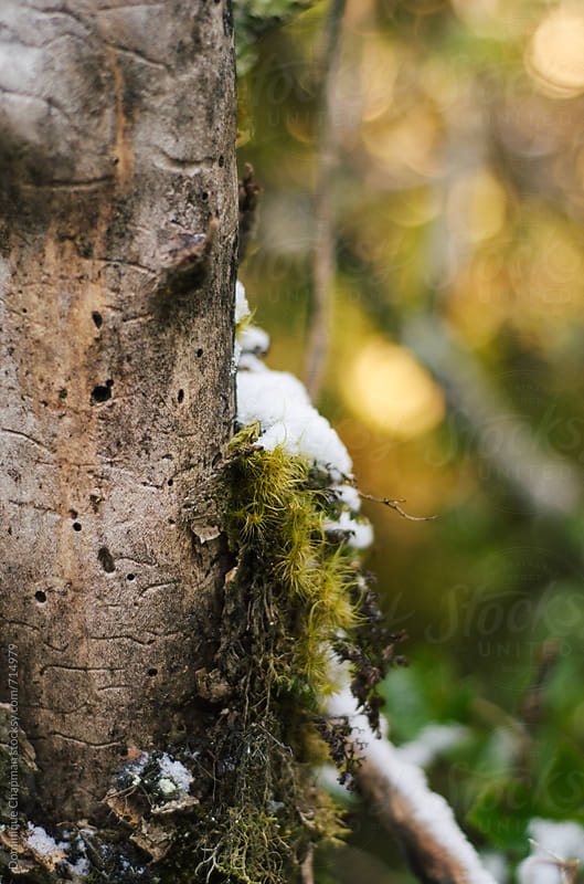 Close up of tree branch with moss and snow by Dominique Chapman for Stocksy United