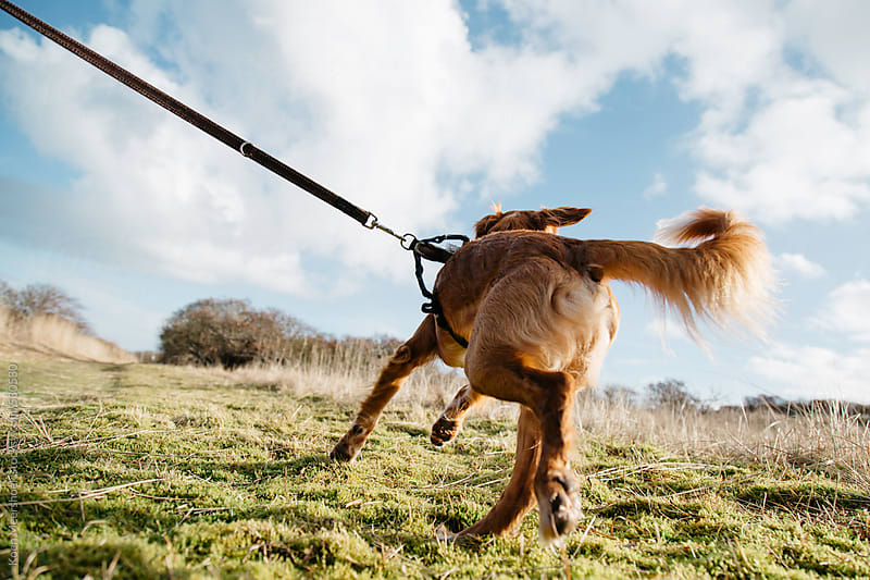 Dog pulls his leash outside in the nature. by Koen Meershoek for Stocksy United