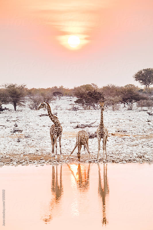 Giraffes drinking at a waterhole at sunset by Micky Wiswedel for Stocksy United