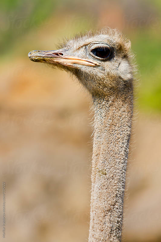 Ostrich by Marilar Irastorza for Stocksy United
