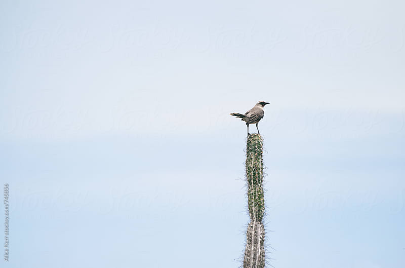 Tropical mockingbird sitting on a cactus  by Alice Nerr for Stocksy United
