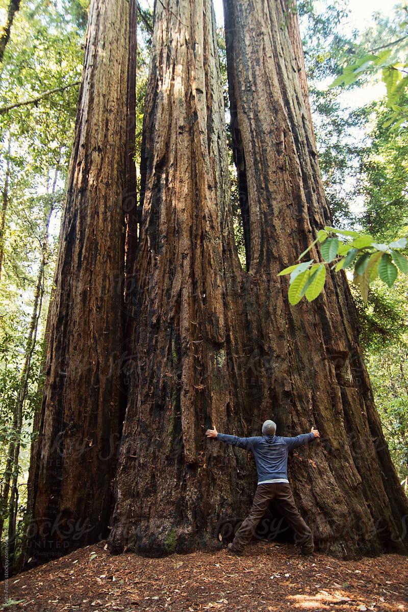 Man Hugging A Giant Redwood Tree In Redwood National Park