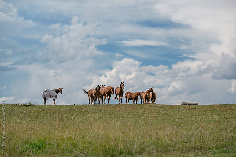 group of horses, one is covered by Tara Romasanta for Stocksy United