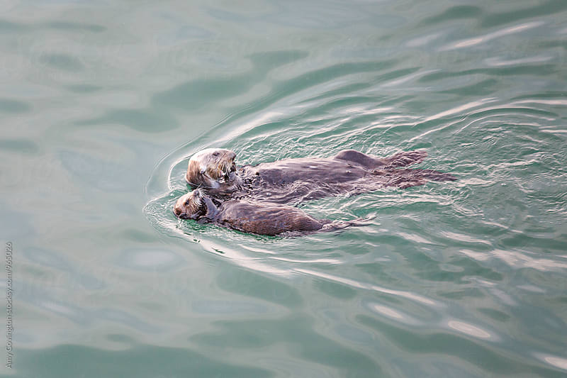 Sea otter mother and pup feeding on mussels in the Pacific Ocean by Amy Covington for Stocksy United