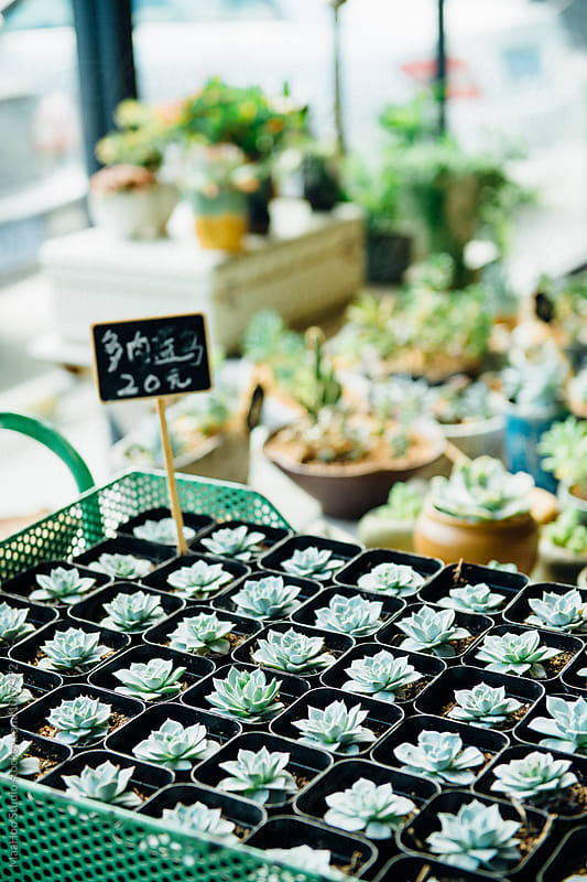 Succulent plants in store by Maa Hoo for Stocksy United