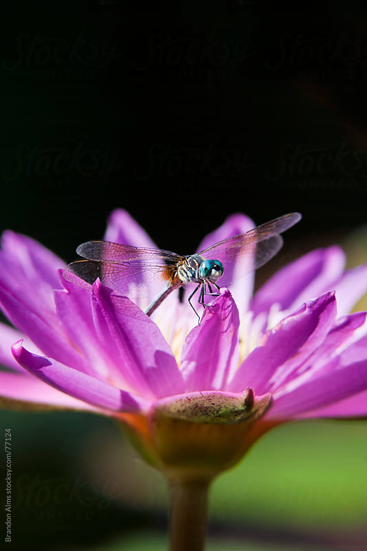 Dragonfly Macro on a Water Lily by Brandon Alms for Stocksy United