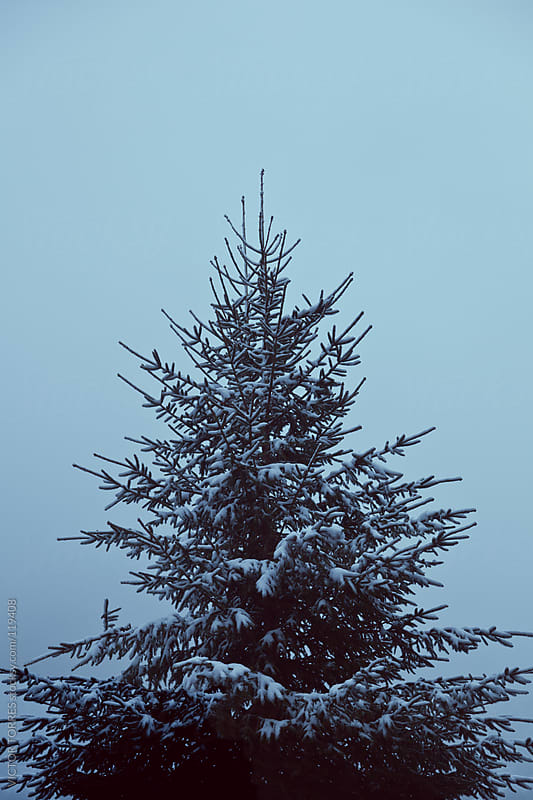 Winter Pine Tree by VICTOR TORRES for Stocksy United