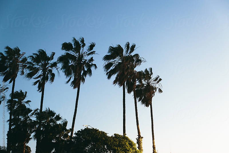 Palm trees at sunset in California by Alejandro Moreno de Carlos for Stocksy United