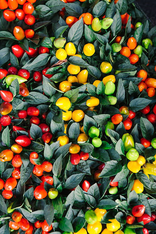 Red orange green and yellow pepper plants by kkgas for Stocksy United