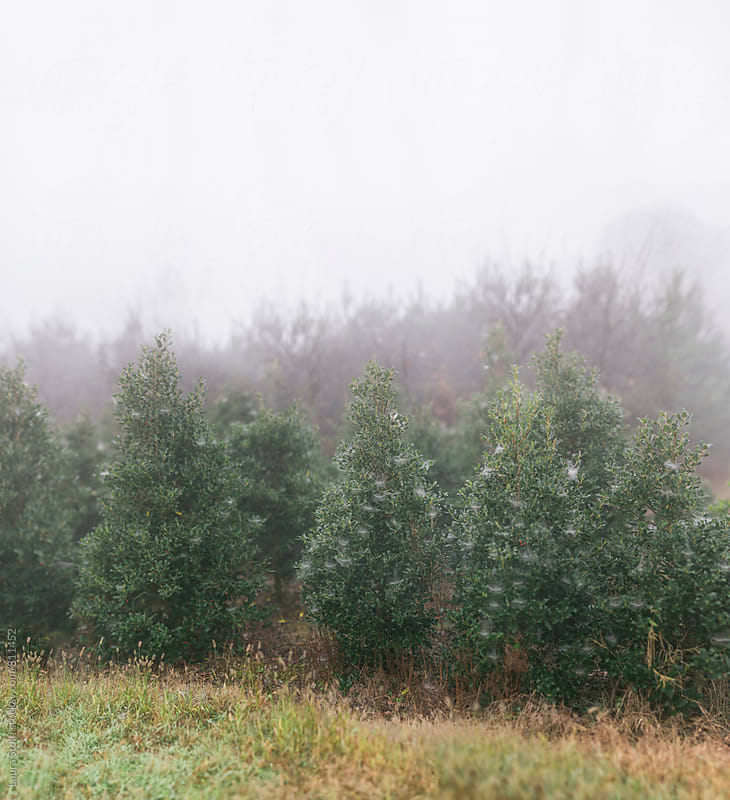 Many spruce trees in the mist  by Laura Stolfi for Stocksy United