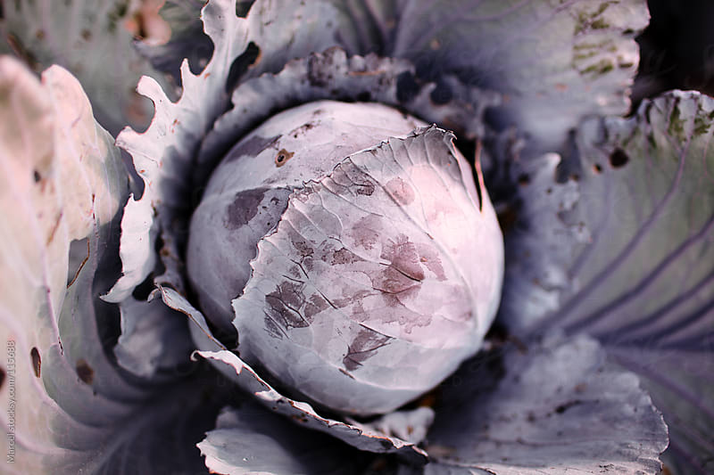 Round red cabbage by Marcel for Stocksy United