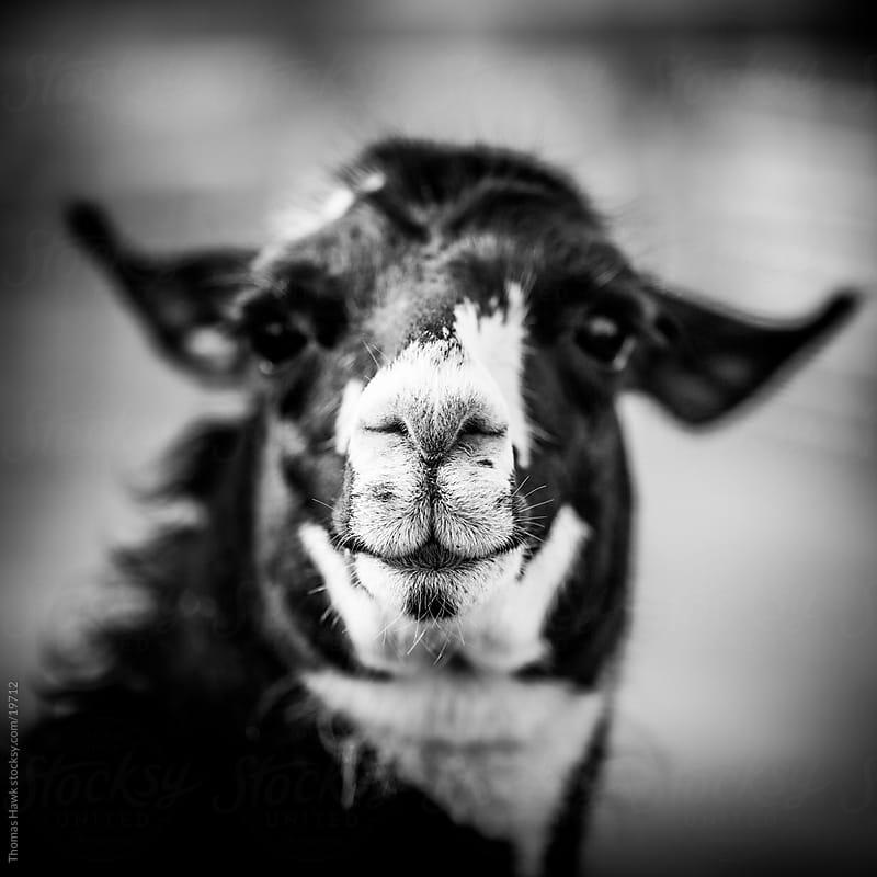 llama by Thomas Hawk for Stocksy United