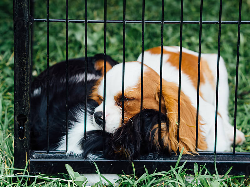 Cavalier King Charles puppies by Milena Milani for Stocksy United