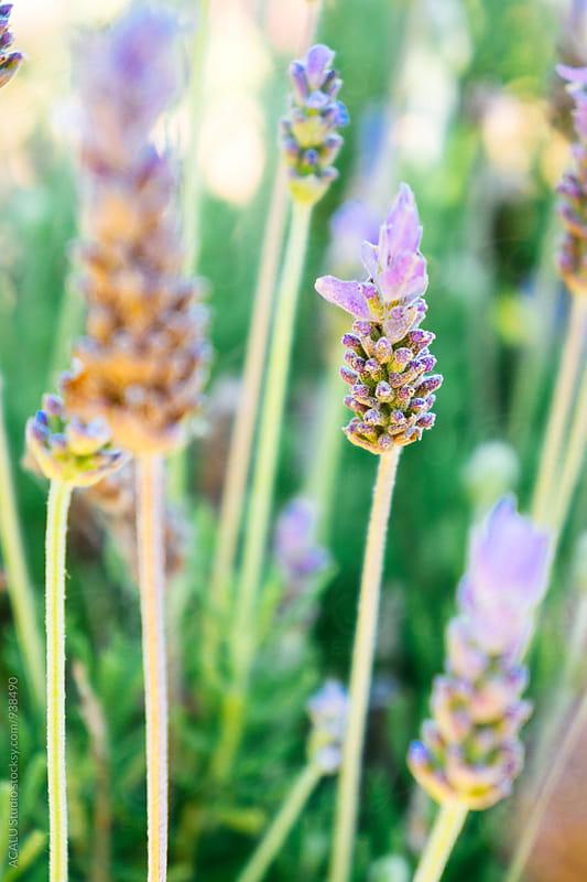 Lavender flower blooming by ACALU Studio for Stocksy United
