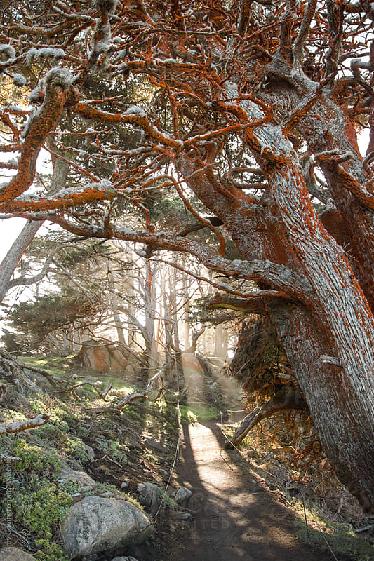 Sunrays burst through Monterey Cypress at Point Lobos State Reserve by Amy Covington for Stocksy United
