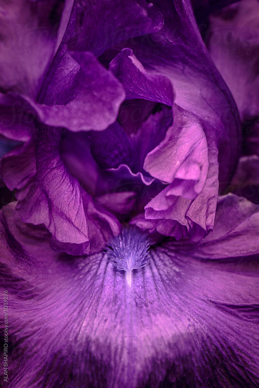 Purple Iris by alan shapiro for Stocksy United