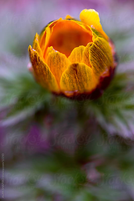 Orange flower macro by alan shapiro for Stocksy United