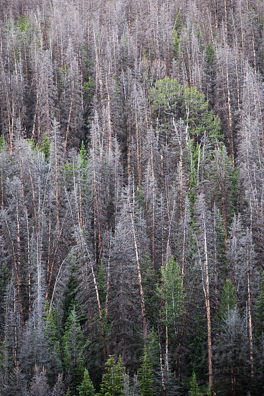 View of dead and living trees in Wyoming wilderness by Matthew Spaulding for Stocksy United