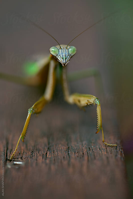 Praying Mantis by ALAN SHAPIRO for Stocksy United