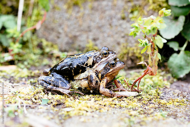 Maiting frogs in garden by Harald Walker for Stocksy United