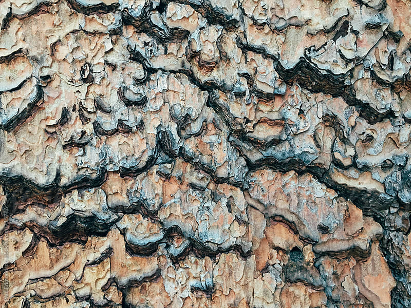 Close up of bark from old growth evergreen tree by Paul Edmondson for Stocksy United