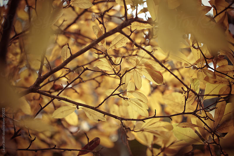Yellow Magnolia stellata leaves on shrub by Laura Stolfi for Stocksy United