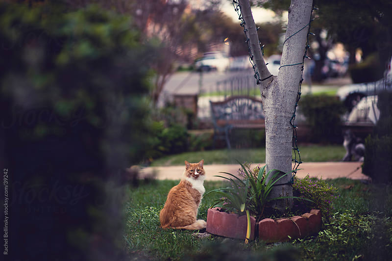 Orange cat in suburban grassy yard by Rachel Bellinsky for Stocksy United
