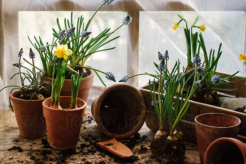 Spring flowering bulbs in a potting shed by Helen Rushbrook for Stocksy United