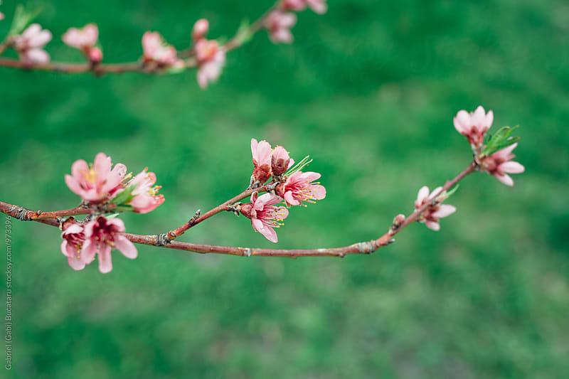 Peach tree flowers by Gabriel (Gabi) Bucataru for Stocksy United