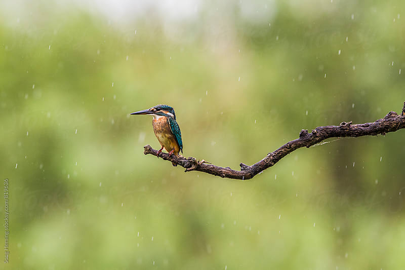 Kingfisher by Song Heming for Stocksy United