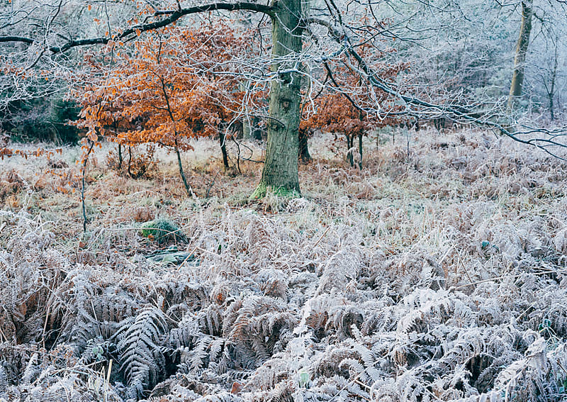 Frost covered bracken and tree.  by Liam Grant for Stocksy United