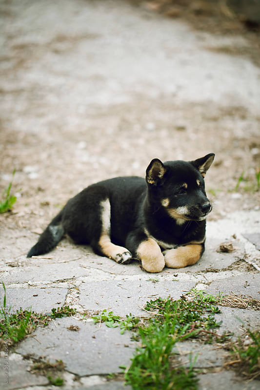 Shiba inu cub lays on stone pavement in garden and looks away by Laura Stolfi for Stocksy United