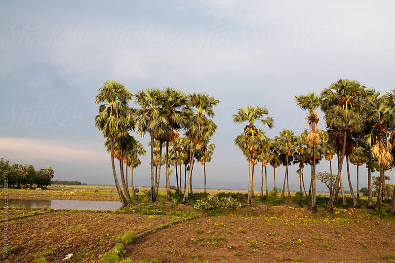 Palm trees in Rural Area by PARTHA PAL for Stocksy United