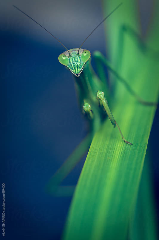 Praying Mantis by alan shapiro for Stocksy United