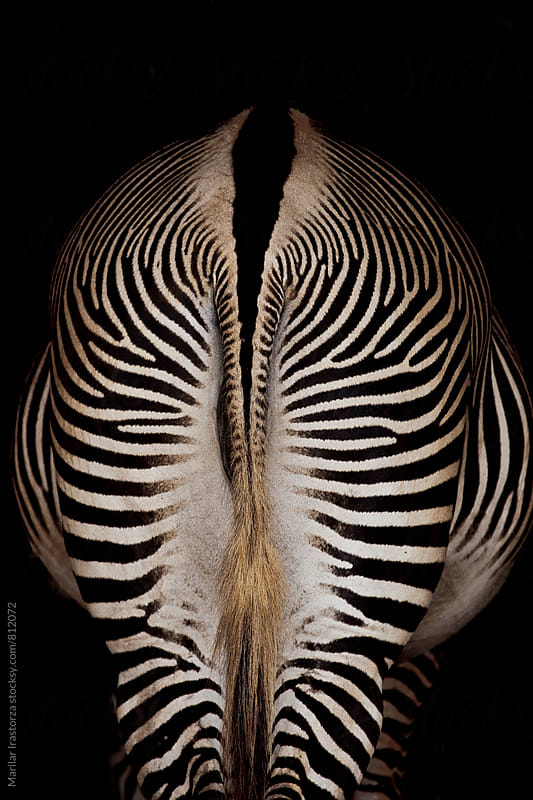 Zebra back by Marilar Irastorza for Stocksy United