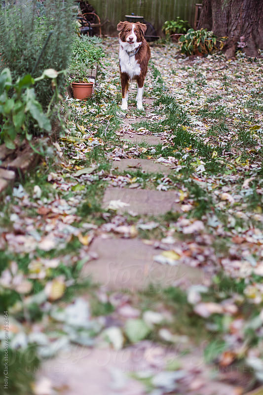 A dog in his city back yard covered with fallen leaves on an autumn day. by Holly Clark for Stocksy United