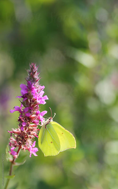 Common brimstone on lythrum salicaria by Marcel for Stocksy United
