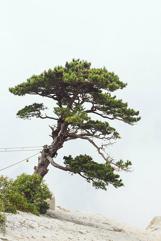 Pine tree in Huashan Mountain  by zheng long for Stocksy United