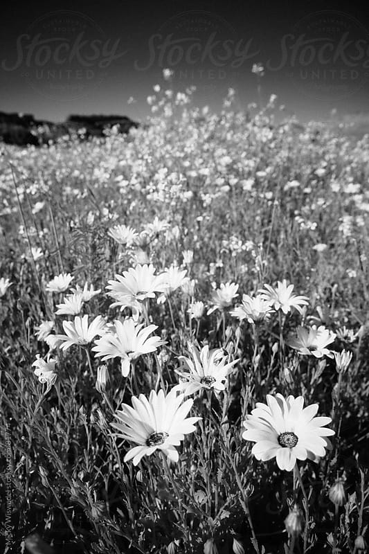 Namaqualand daisies by Micky Wiswedel for Stocksy United