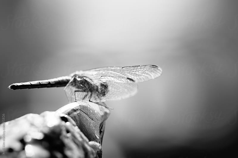 Monochrome Closeup Of Dragonfly Perched On Rock by Kelli Seeger Kim for Stocksy United