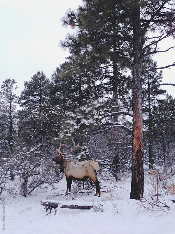 Winter Elk by Kevin Russ for Stocksy United