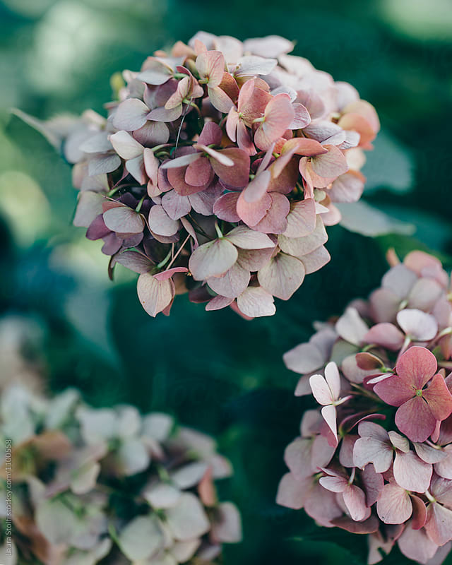 Pale pink hortensia flowers slowly drying on the plant by Laura Stolfi for Stocksy United