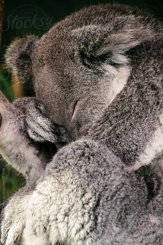 Koala sleeping in Australia by Alejandro Moreno de Carlos for Stocksy United